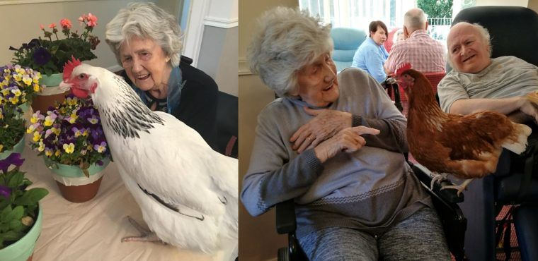 Care home's new hens bring back memories for chicken whisperer Irene
