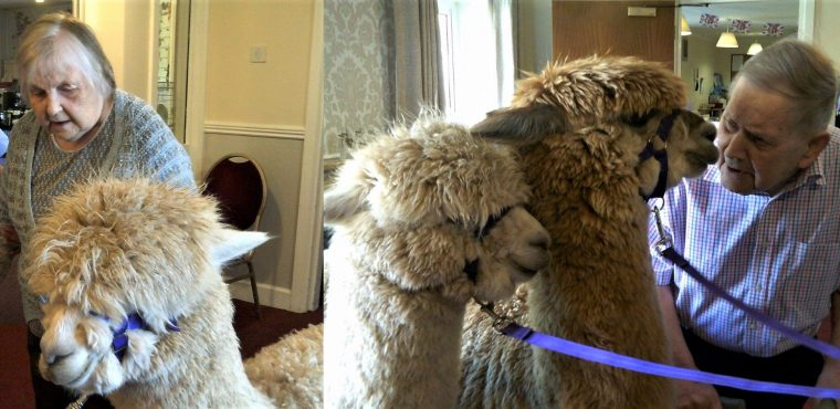 Alpacas Gloria and Gaynor visit care home residents